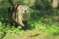 North american river otter Royalty Free Stock Photo