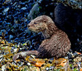 North american river otter portrait of a young resting on a vancouver shoreline they are found along waterways and coasts of Stock Photography