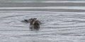 North American river otters Lontra canadensis swimming and fishing in the wild.