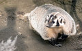North american short legged badger wild animal mustelidae family roams a distance from his burrow and roots around for worms and Royalty Free Stock Images