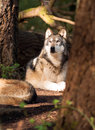North american timberwolf wild animal wolf canine predator alpha a lays resting while observing a squirell climbing a tree close Stock Photos