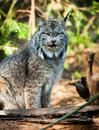 North american timberwolf wild animal wolf canine predator alpha a stands observing his surroundings ready to react Stock Photo