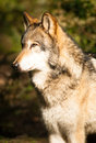 North american timberwolf wild animal wolf canine predator meat a stands observing a squirell climbing a tree close by Stock Photo