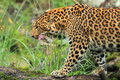 North china leopard Royalty Free Stock Images