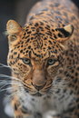 North Chinese leopard Royalty Free Stock Images