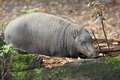 North sulawesi babirusa the female of Stock Photography