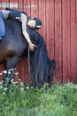 North swedish horse with girl a teenager relaxing bareback on a space for text Stock Photo