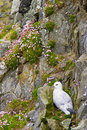 Northen Fulmar Royalty Free Stock Images