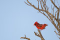 Norther cardinal perched on tree branch spring time fort myers florida Stock Photography