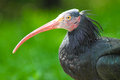 Northern bald ibis closeup of a with blured background Stock Image