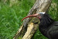 Northern bald ibis geronticus eremita in grass Stock Photos