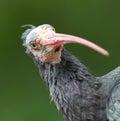 Northern bald ibis geronticus eremita portrait close up Royalty Free Stock Image