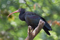 Northern bald ibis geronticus eremita resting in a tree Stock Photography