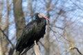 Northern bald ibis geronticus eremita or waldrapp Royalty Free Stock Image