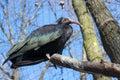 Northern bald ibis geronticus eremita or waldrapp Stock Photography