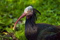 Northern bald ibis the hermit or waldrapp Royalty Free Stock Photo