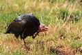 Northern bald ibis with the open bill Royalty Free Stock Photo