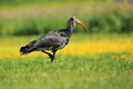 Northern bald ibis strolling in the grass Stock Image