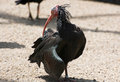 Northern bald ibis or waldrapp geronticus eremita ibises bird with a long beak Stock Photo