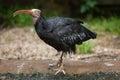Northern bald ibis x geronticus eremita x also known as the hermit wildlife animal Stock Photo