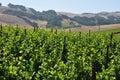 Northern California vinyard Royalty Free Stock Photo