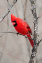 Northern Cardinal Royalty Free Stock Photography
