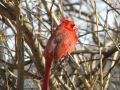 Northern Cardinal - 3 Royalty Free Stock Photography