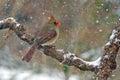 Northern Cardinal Snow Royalty Free Stock Photo