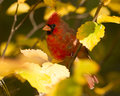 Northern Cardinal in Autumn Stock Image