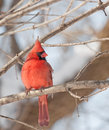 Northern Cardinal (Cardinalis cardinalis) Royalty Free Stock Photography