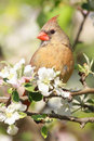 Northern Cardinal (cardinalis cardinalis) Royalty Free Stock Photo