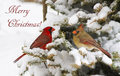 Northern cardinal christmas card with pair in tree full of snow Stock Photography