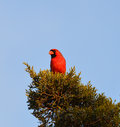Northern cardinal feeding in cedar tree Stock Photo