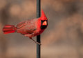 Northern Cardinal male, Cardinalis cardinalis Royalty Free Stock Images