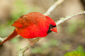 Northern cardinal male sitting on a perch Stock Photos