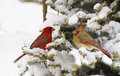 Northern cardinal pair christmas card with in christmas tree full of snow Stock Image