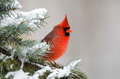 Northern cardinal perched in a tree male sitting an evergreen following winter snowstorm Stock Image