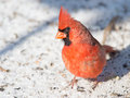 Northern Cardinal in Snow Royalty Free Stock Photo