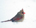 Northern cardinal in the snow female sitting following a heavy winter snowstorm Royalty Free Stock Photos