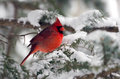 Northern cardinal in the snow female sitting following a heavy winter snowstorm Royalty Free Stock Image