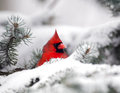 Northern cardinal in the snow female sitting following a heavy winter snowstorm Royalty Free Stock Images