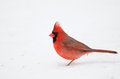 Northern cardinal in the snow following a heavy winter snowstorm Stock Image