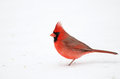 Northern cardinal in the snow following a heavy winter snowstorm Stock Photo