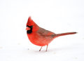 Northern cardinal in the snow following a heavy winter snowstorm Royalty Free Stock Photo