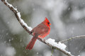 Northern cardinal in snow storm perched on a branch during a heavy winter Royalty Free Stock Image