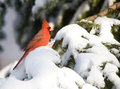 Northern Cardinal in snowstorm Stock Photo