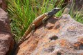 Northern crag lizard pseudocordylus transvaalensis in kruger national park Stock Photography