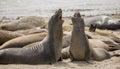 Northern Elephant Seals - Mirounga angustirostris, Adult Males, Año Nuevo State Park, California