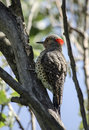 Northern flicker a bird holding on a big tree branch and inflating his feathers showing its red marking on the back of his head Stock Photos