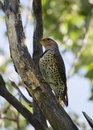 Northern flicker a bird holiding itself on a large tree branch looking upward Royalty Free Stock Images